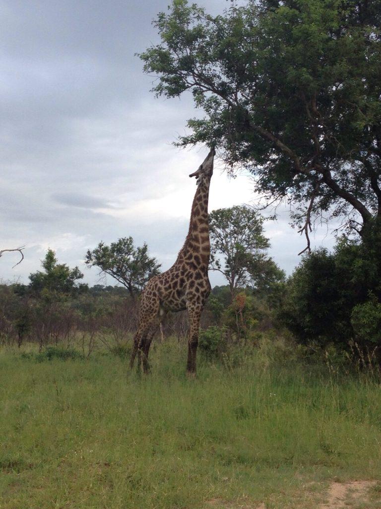 Giraffe mit extra langem Hals