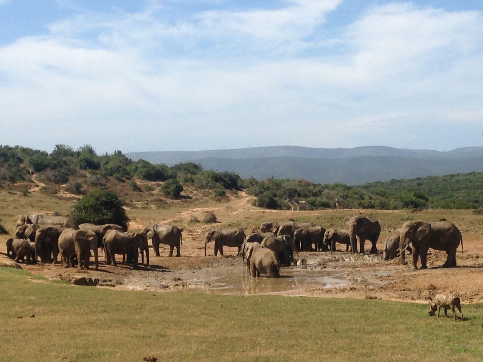 Elefanten am Wasserloch Addo Elephant national Park