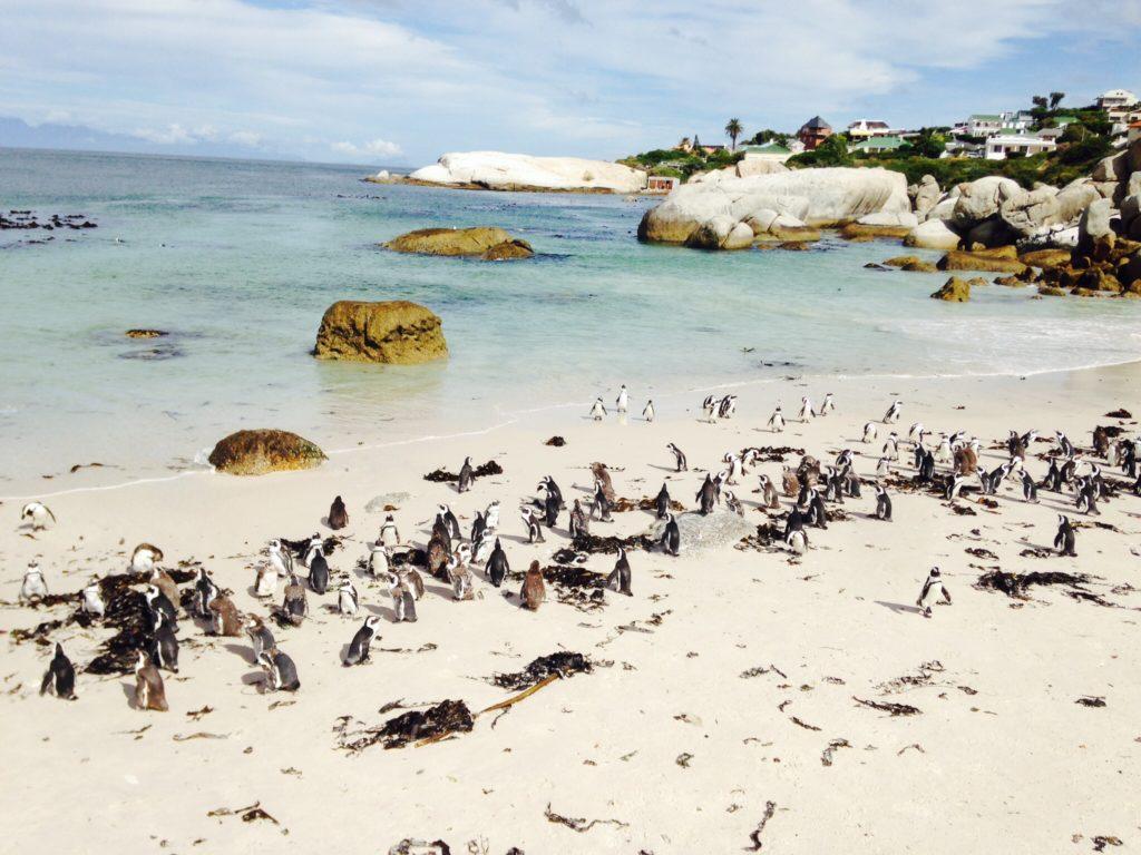 Pinguine am Strand von Boulder, Südafrika