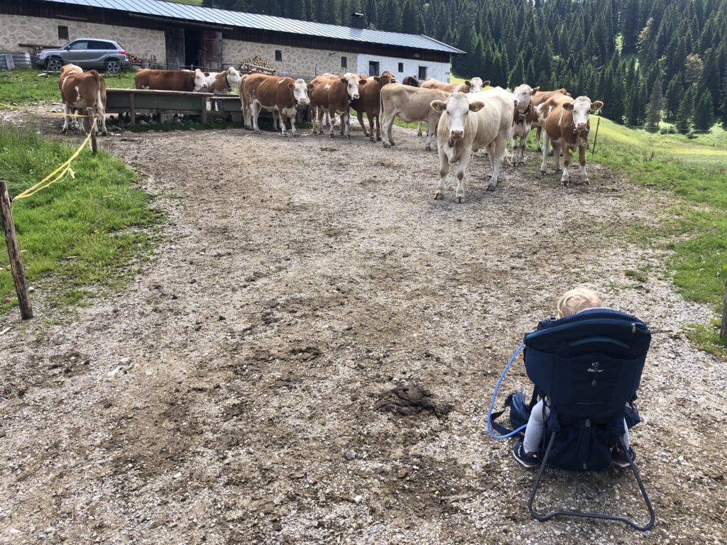 Die Kühe kamen gerade von der Weide