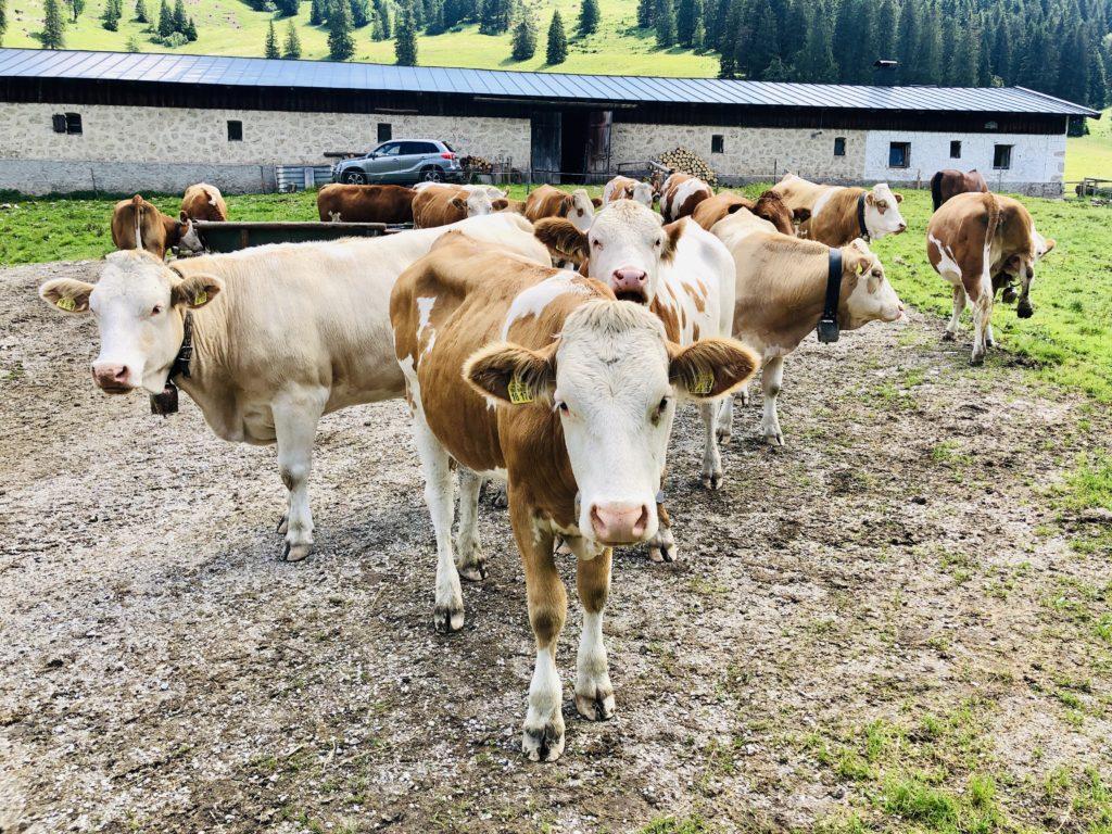 Die erste direkte Begegnung mit einer Kuh